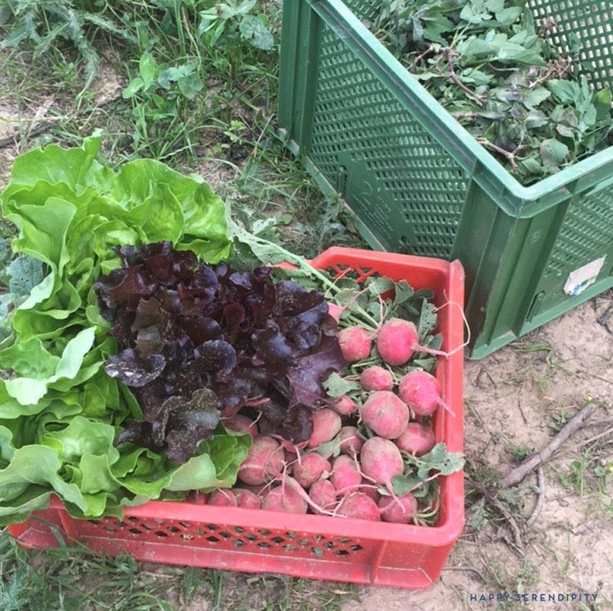 die erste ernte unseres tegut saisongarten a.k.a. der acker 2017