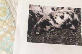 Unser geleastes Schwein! Schweineleasing ist unsere Art, achtsamer Fleisch zu konsumieren. Eine Geschichte von Happy Serendipity